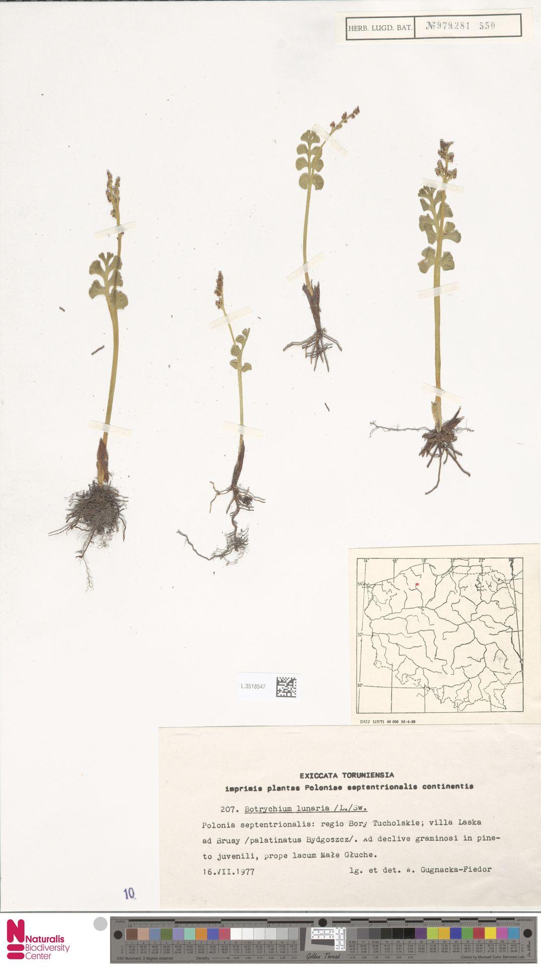 L.3518547 | Botrychium lunaria (L.) Sw.