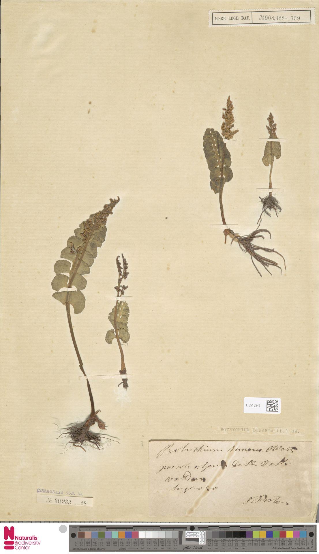 L.3518548 | Botrychium lunaria (L.) Sw.