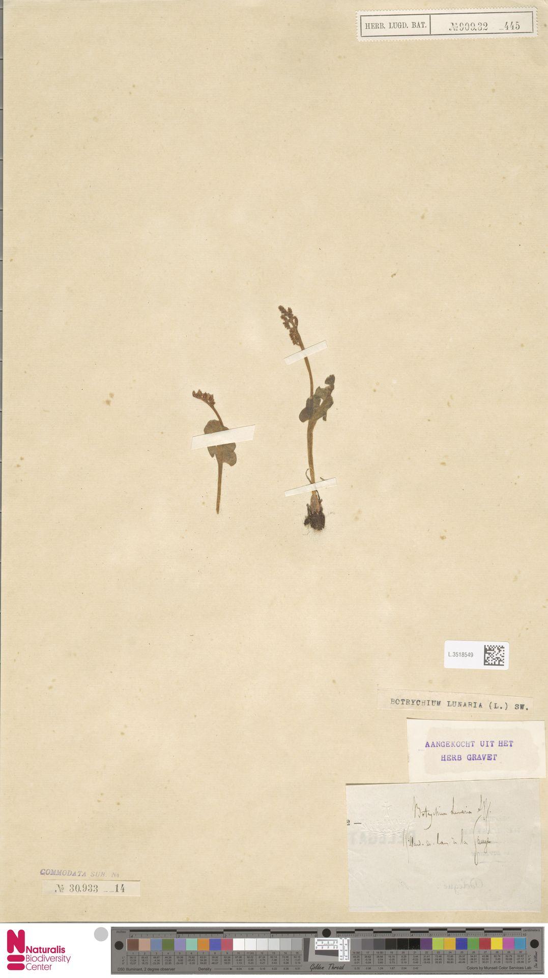 L.3518549 | Botrychium lunaria (L.) Sw.