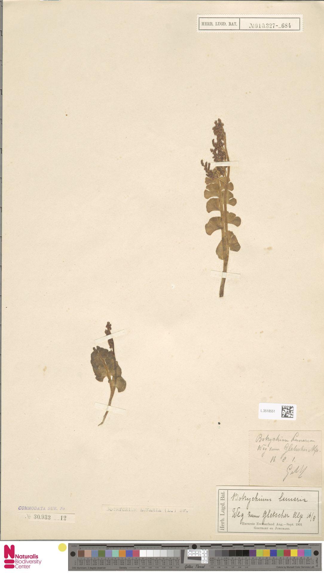 L.3518551 | Botrychium lunaria (L.) Sw.