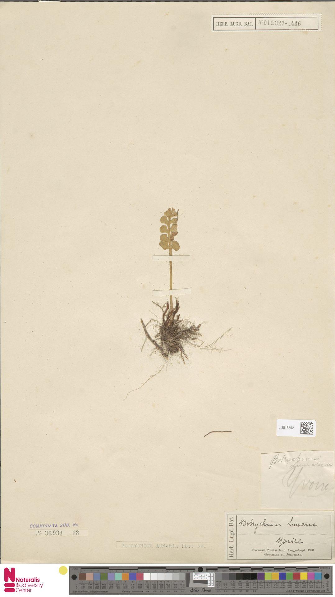 L.3518552 | Botrychium lunaria (L.) Sw.