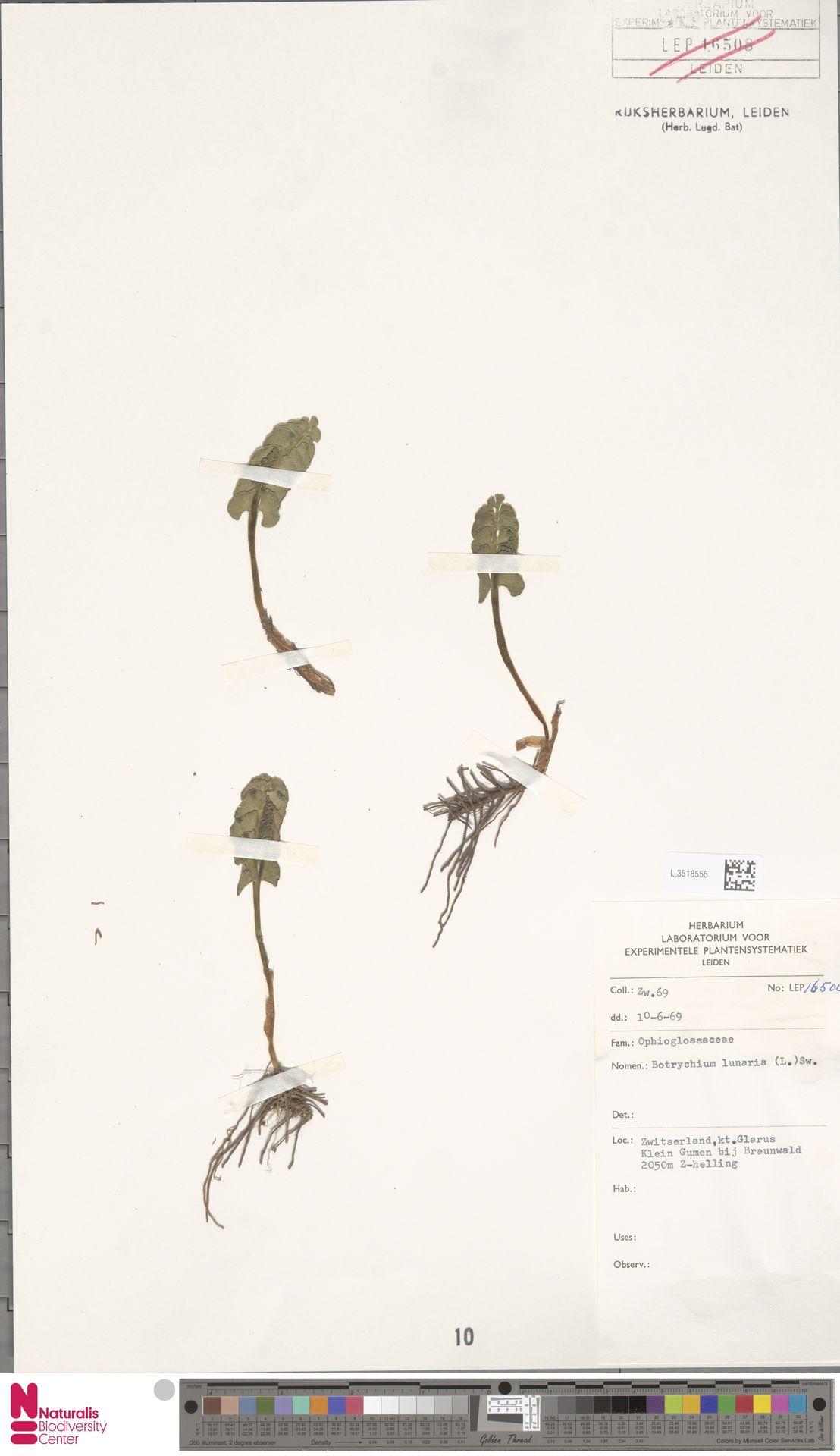 L.3518555 | Botrychium lunaria (L.) Sw.