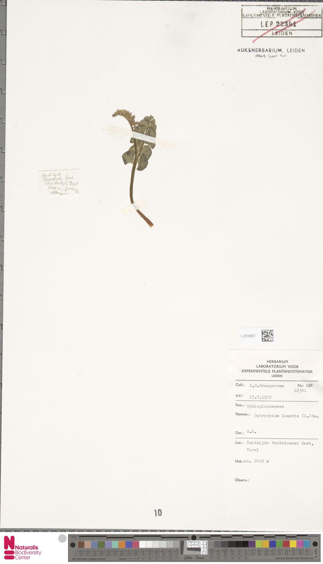 L.3518557 | Botrychium lunaria (L.) Sw.