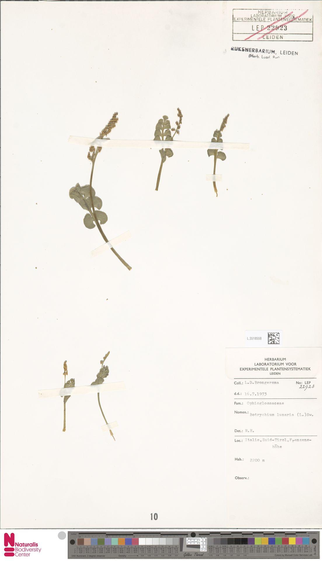 L.3518558 | Botrychium lunaria (L.) Sw.