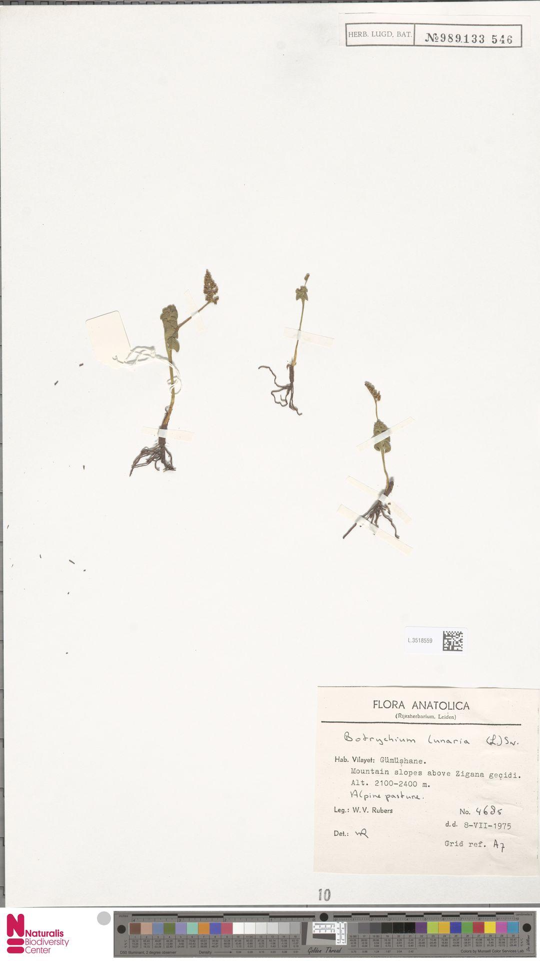 L.3518559 | Botrychium lunaria (L.) Sw.