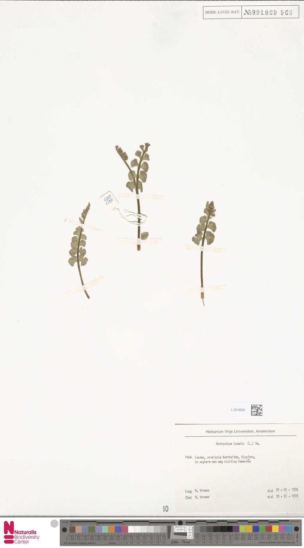L.3518560   Botrychium lunaria (L.) Sw.