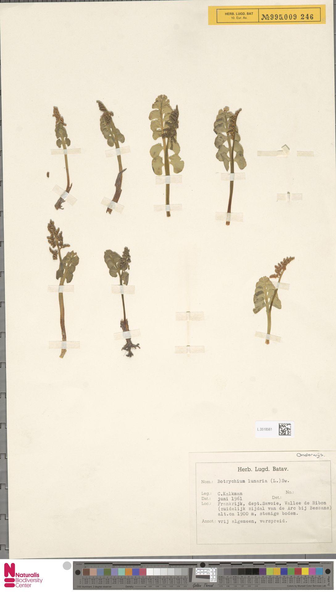 L.3518561 | Botrychium lunaria (L.) Sw.