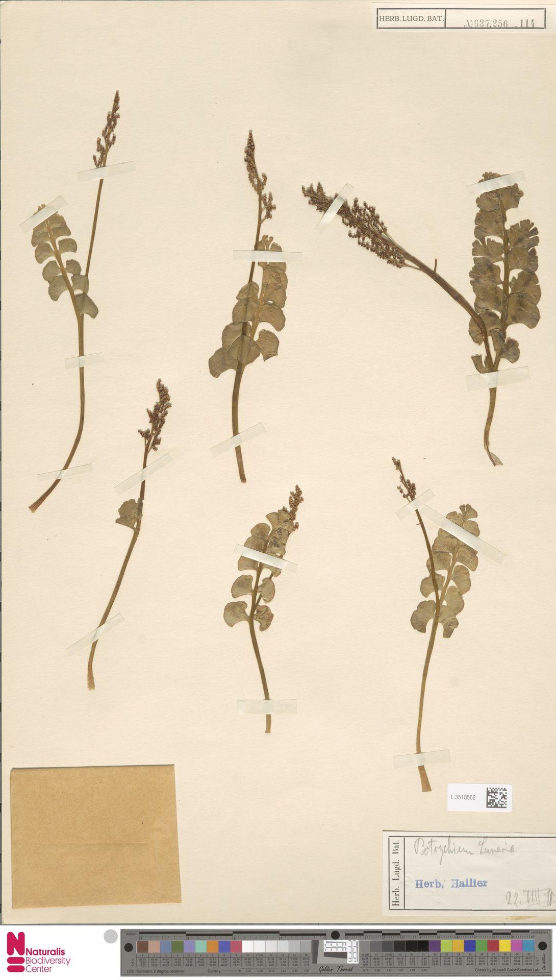 L.3518562 | Botrychium lunaria (L.) Sw.