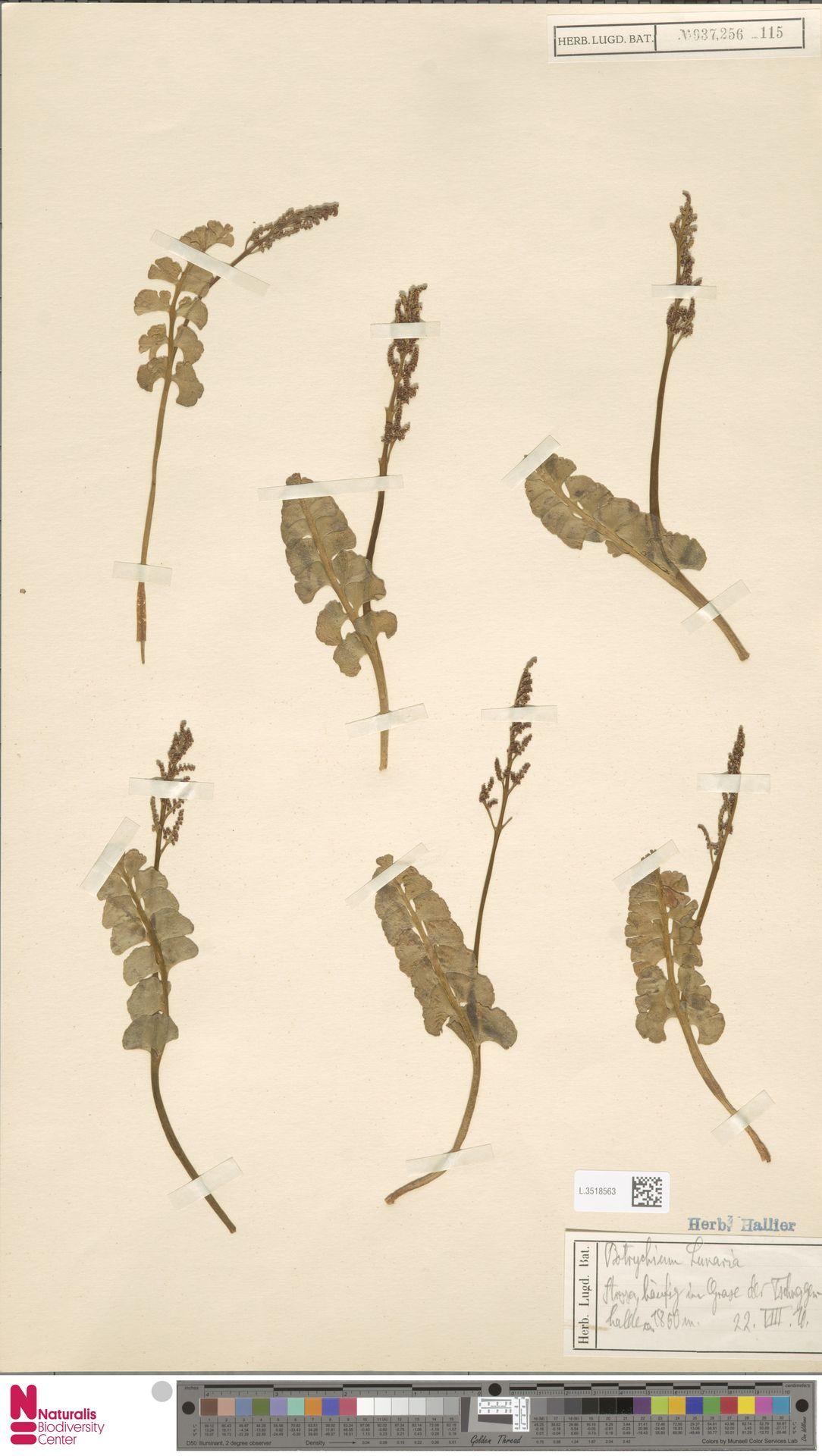 L.3518563 | Botrychium lunaria (L.) Sw.