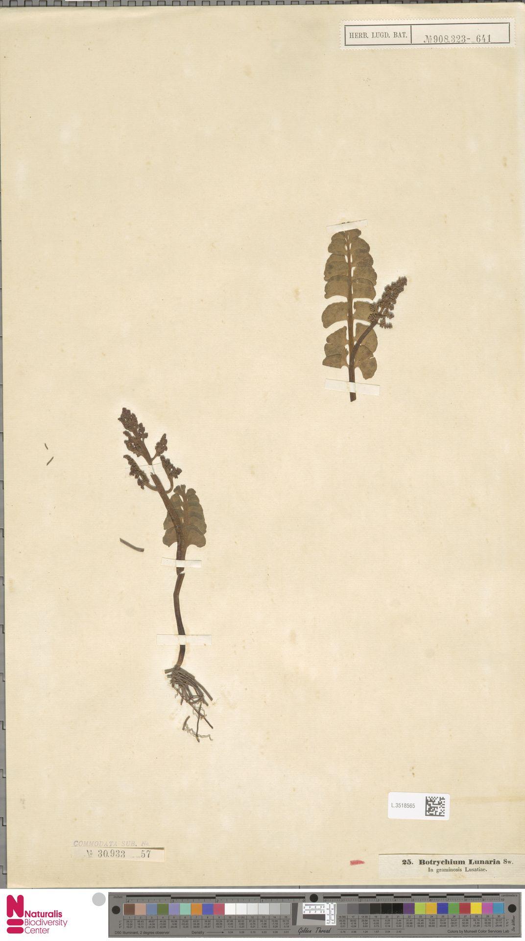 L.3518565 | Botrychium lunaria (L.) Sw.
