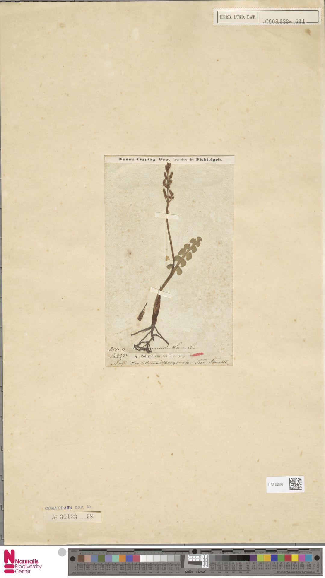 L.3518566 | Botrychium lunaria (L.) Sw.
