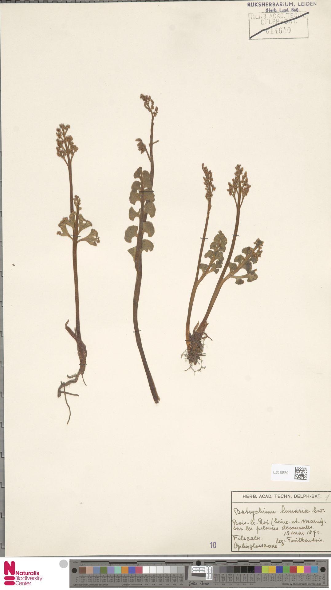 L.3518569 | Botrychium lunaria (L.) Sw.