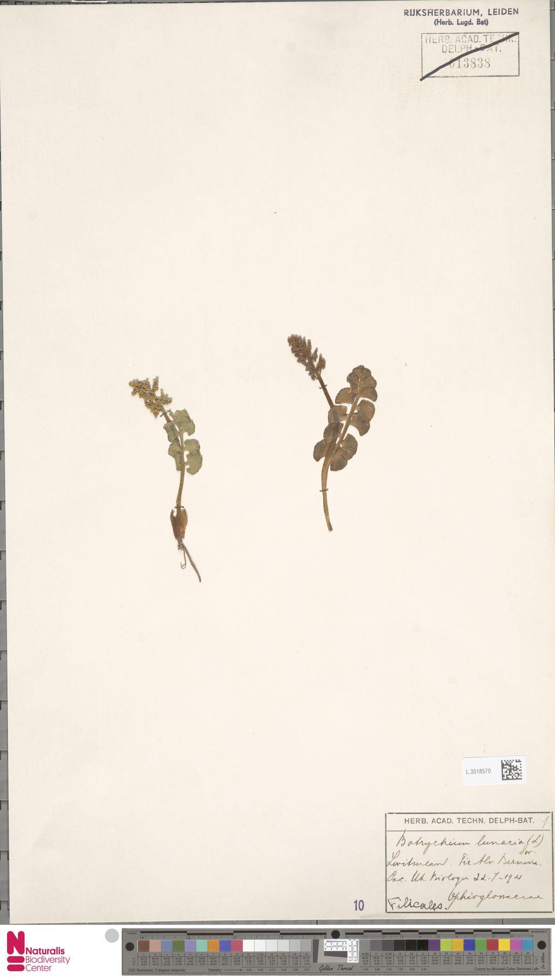 L.3518570 | Botrychium lunaria (L.) Sw.
