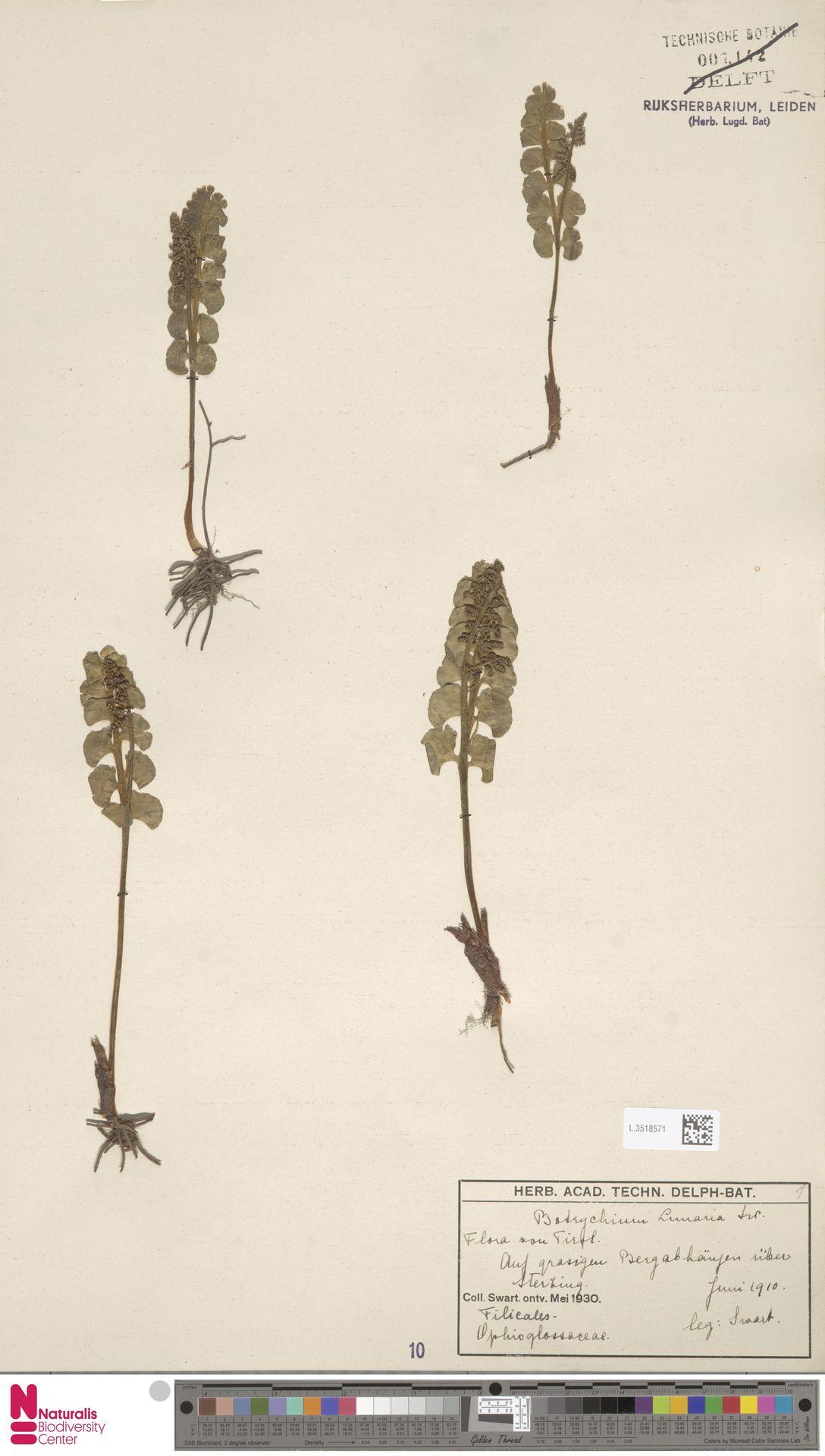 L.3518571 | Botrychium lunaria (L.) Sw.