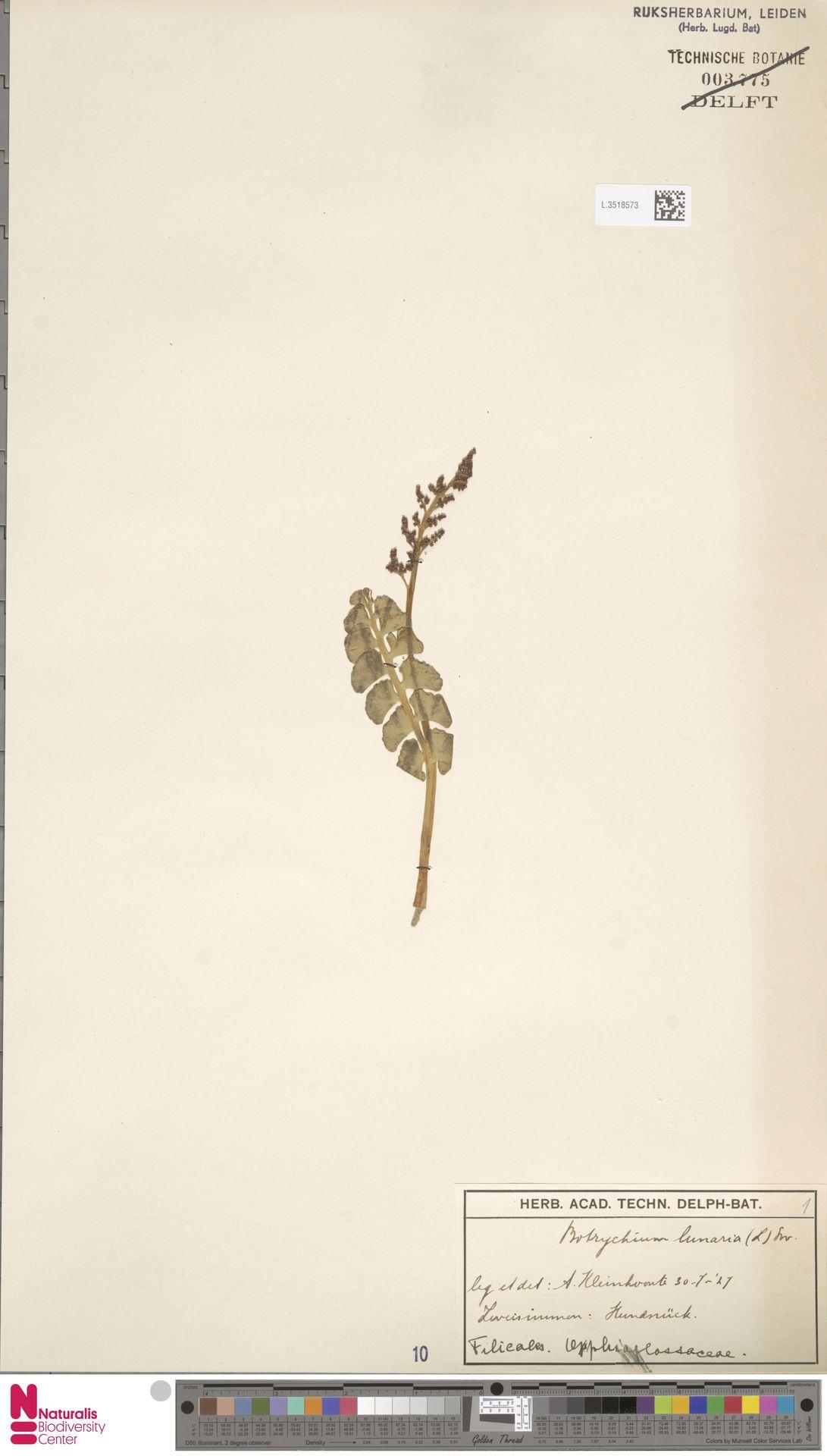 L.3518573 | Botrychium lunaria (L.) Sw.