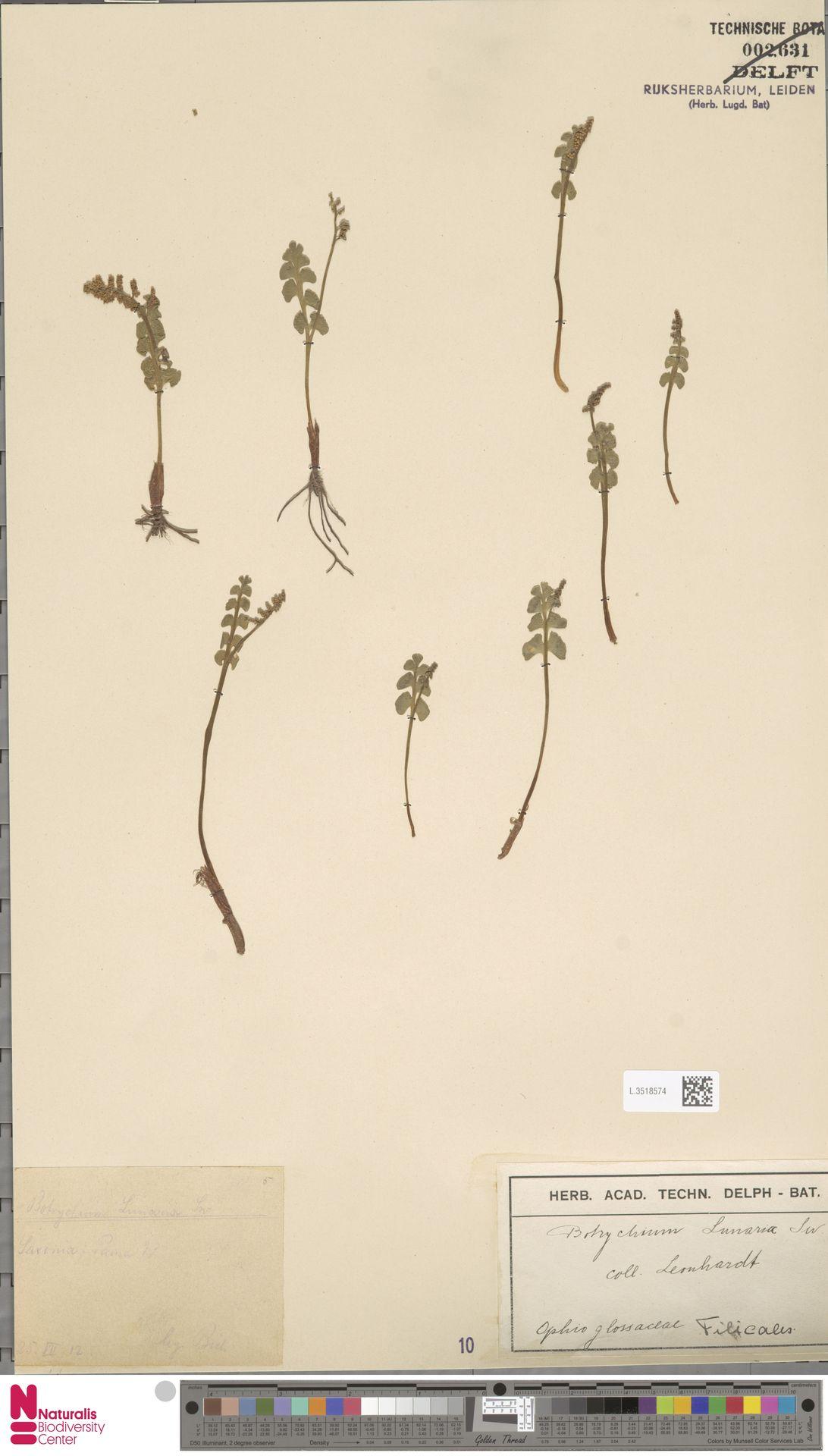 L.3518574 | Botrychium lunaria (L.) Sw.