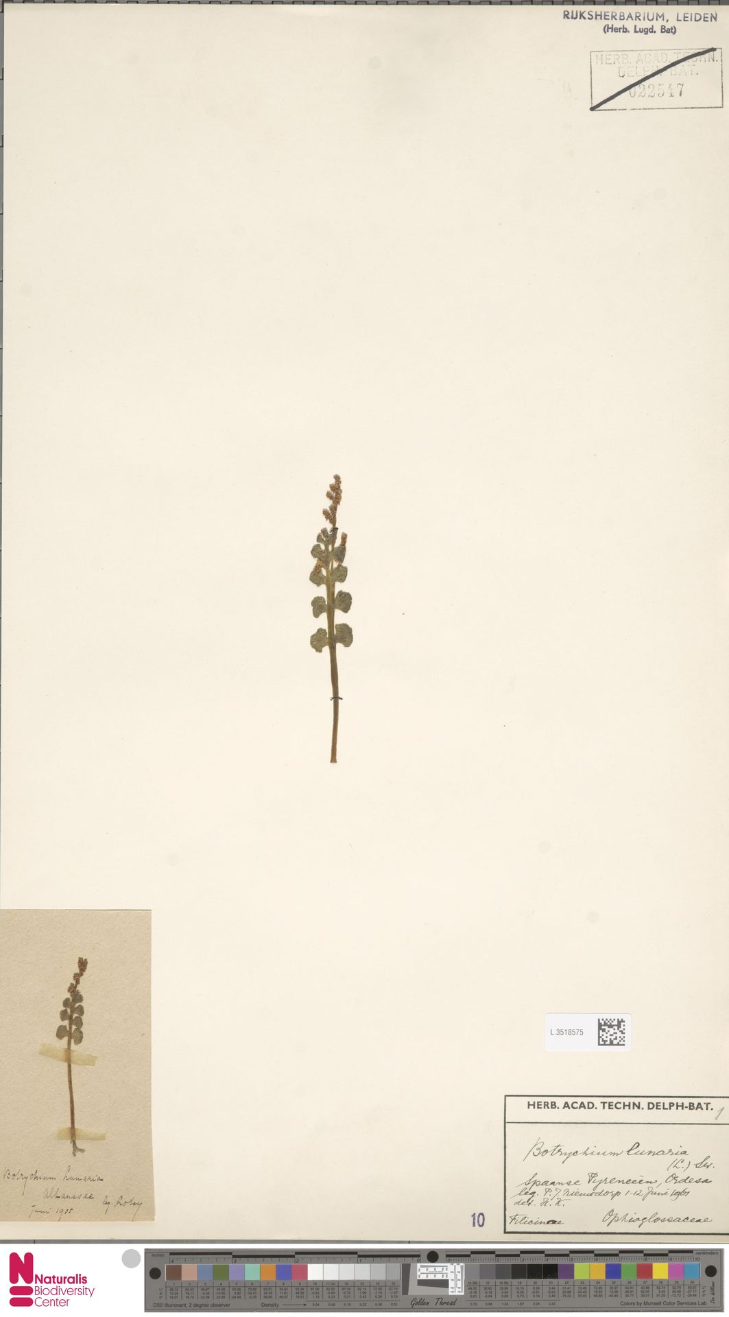 L.3518575 | Botrychium lunaria (L.) Sw.
