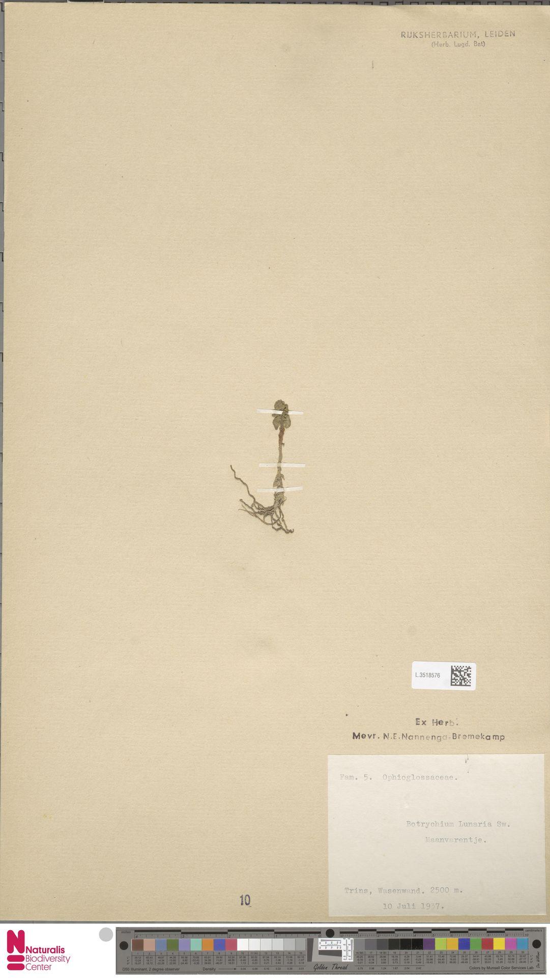 L.3518576 | Botrychium lunaria (L.) Sw.