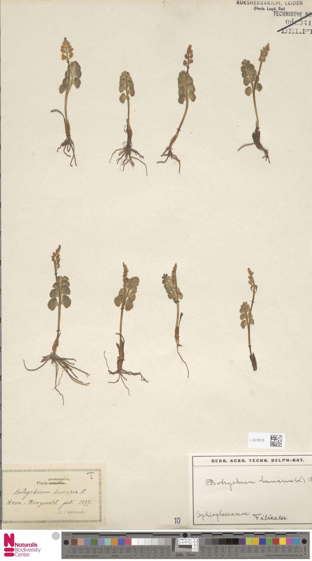 L.3518578 | Botrychium lunaria (L.) Sw.