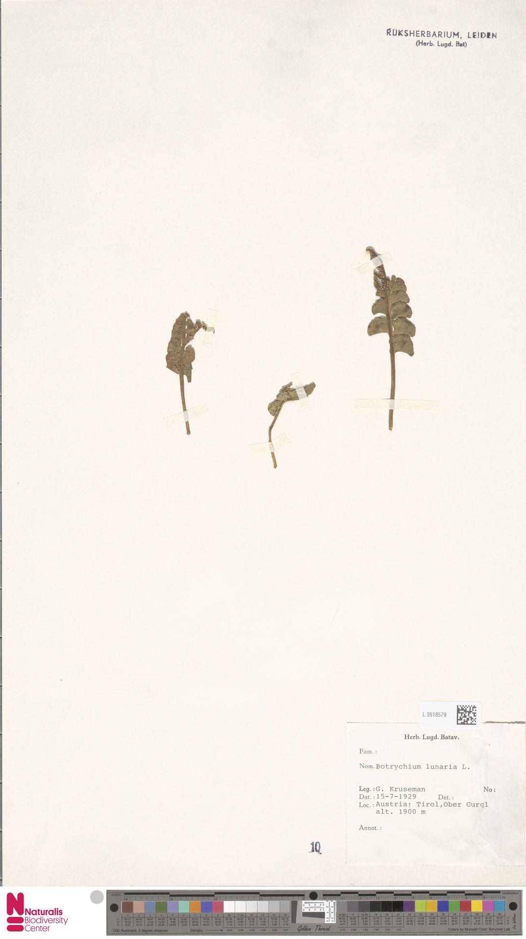 L.3518579 | Botrychium lunaria (L.) Sw.