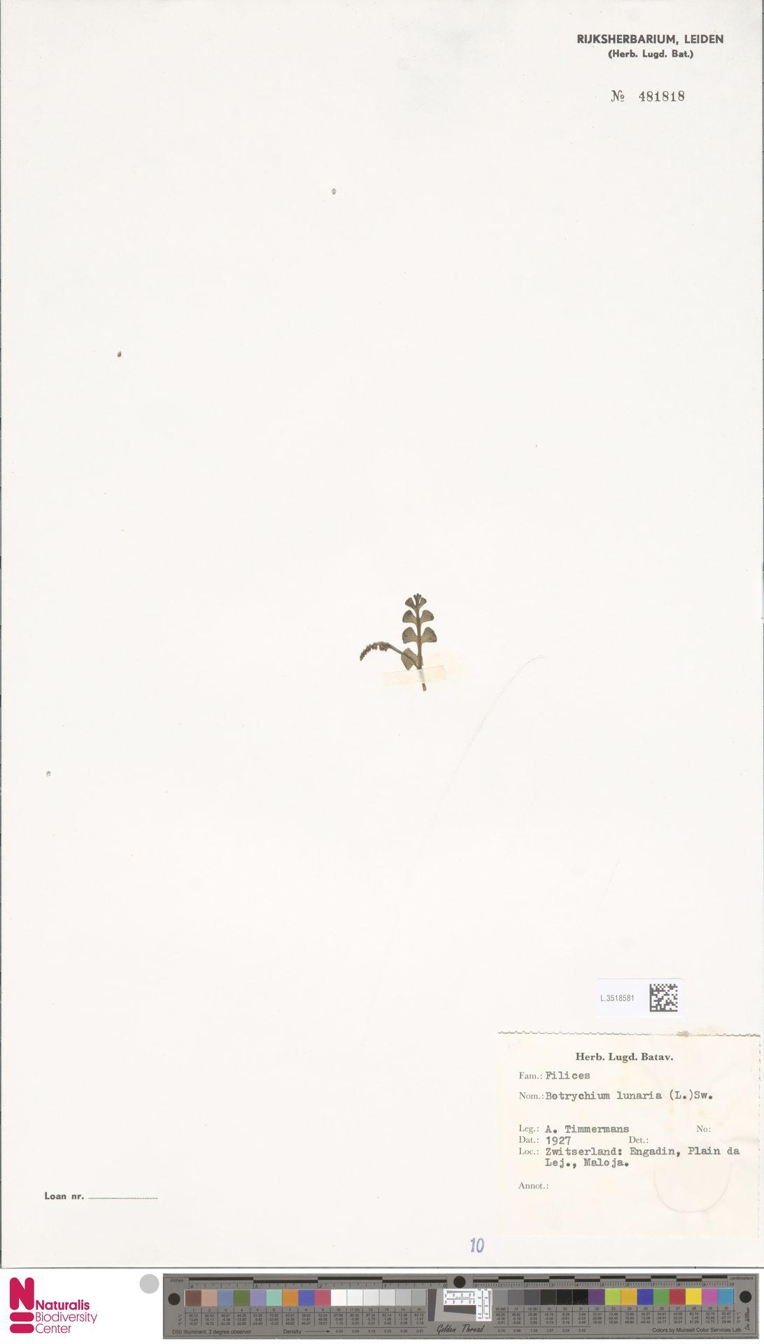 L.3518581 | Botrychium lunaria (L.) Sw.