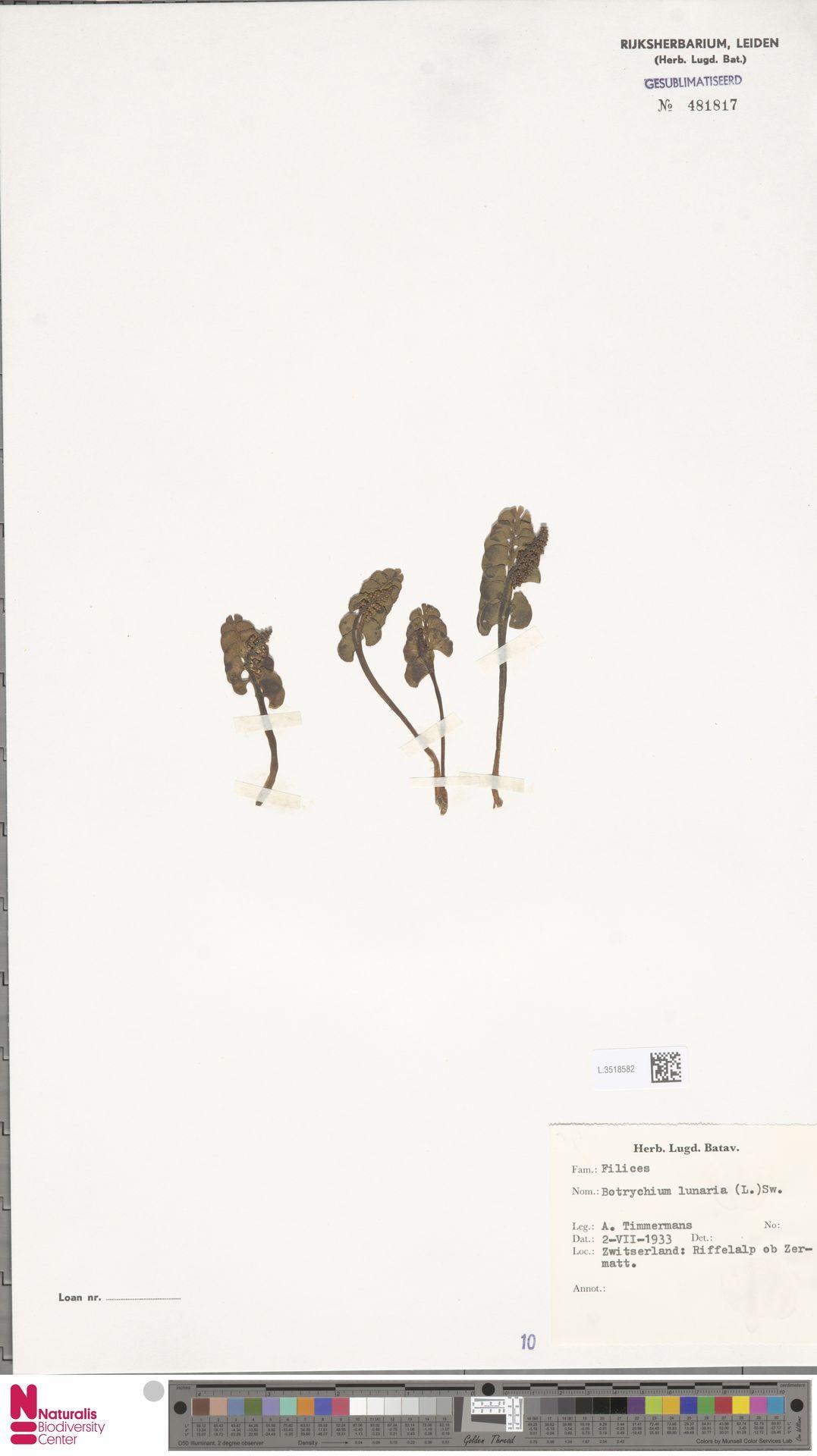 L.3518582 | Botrychium lunaria (L.) Sw.