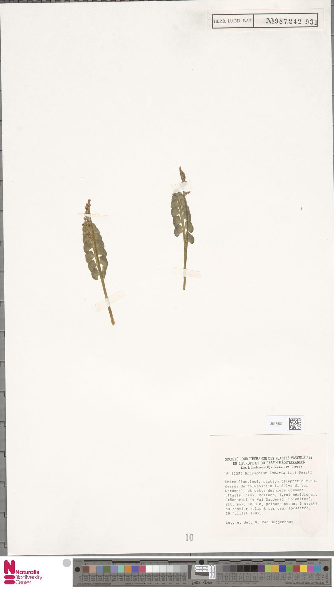L.3518583 | Botrychium lunaria (L.) Sw.