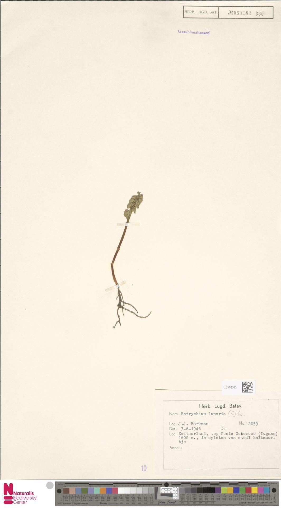 L.3518585 | Botrychium lunaria (L.) Sw.