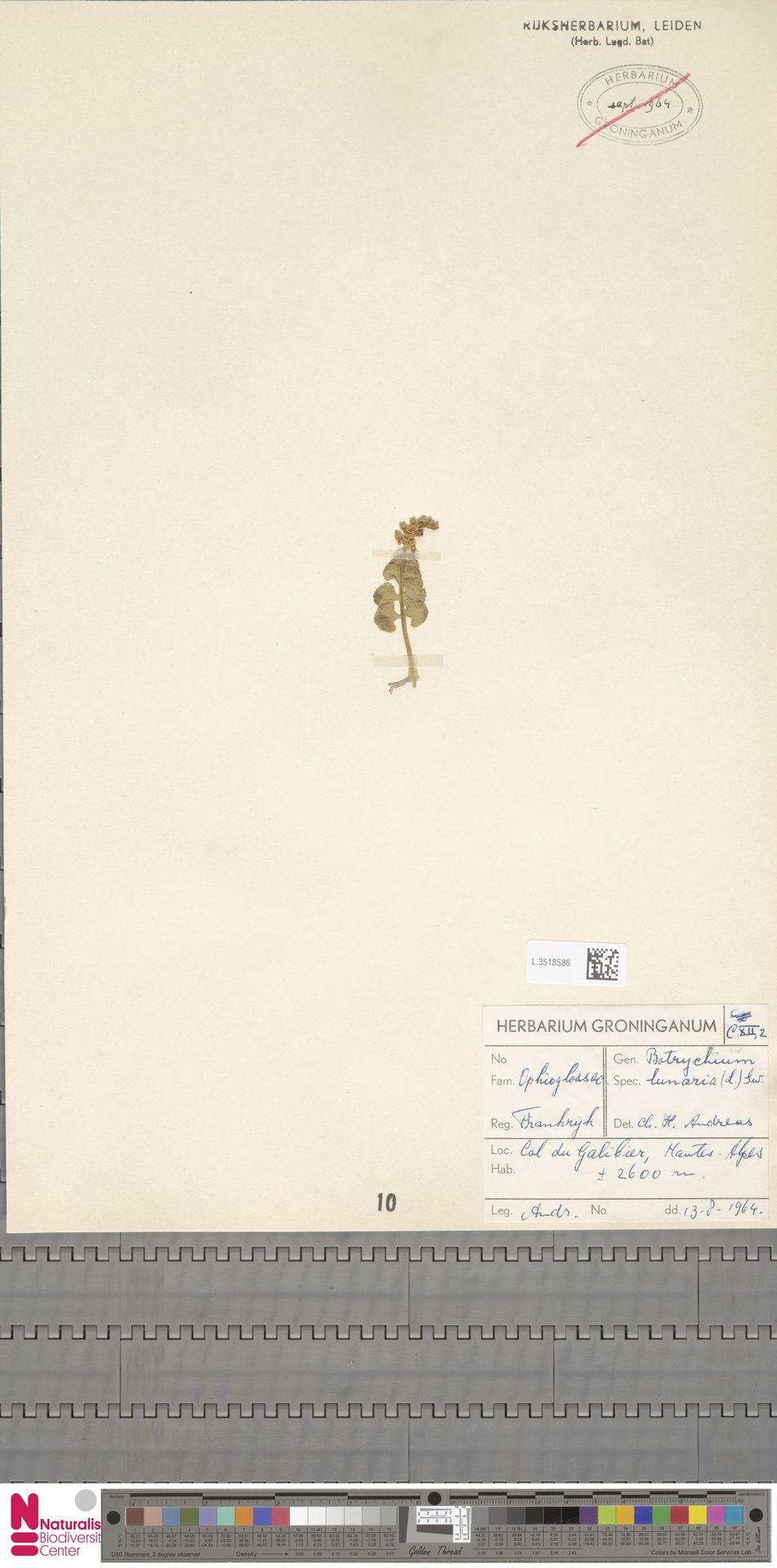 L.3518586 | Botrychium lunaria (L.) Sw.