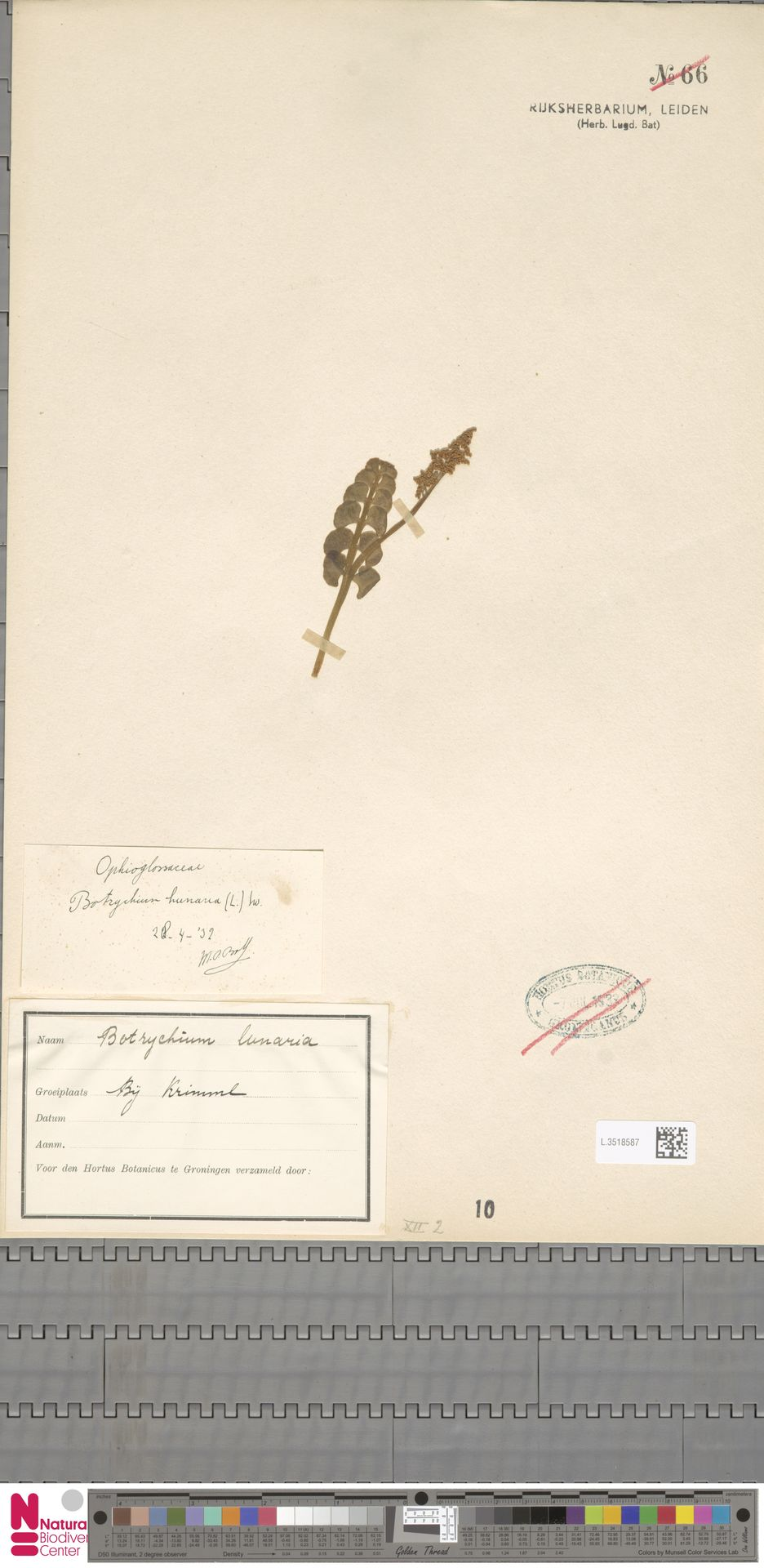 L.3518587 | Botrychium lunaria (L.) Sw.