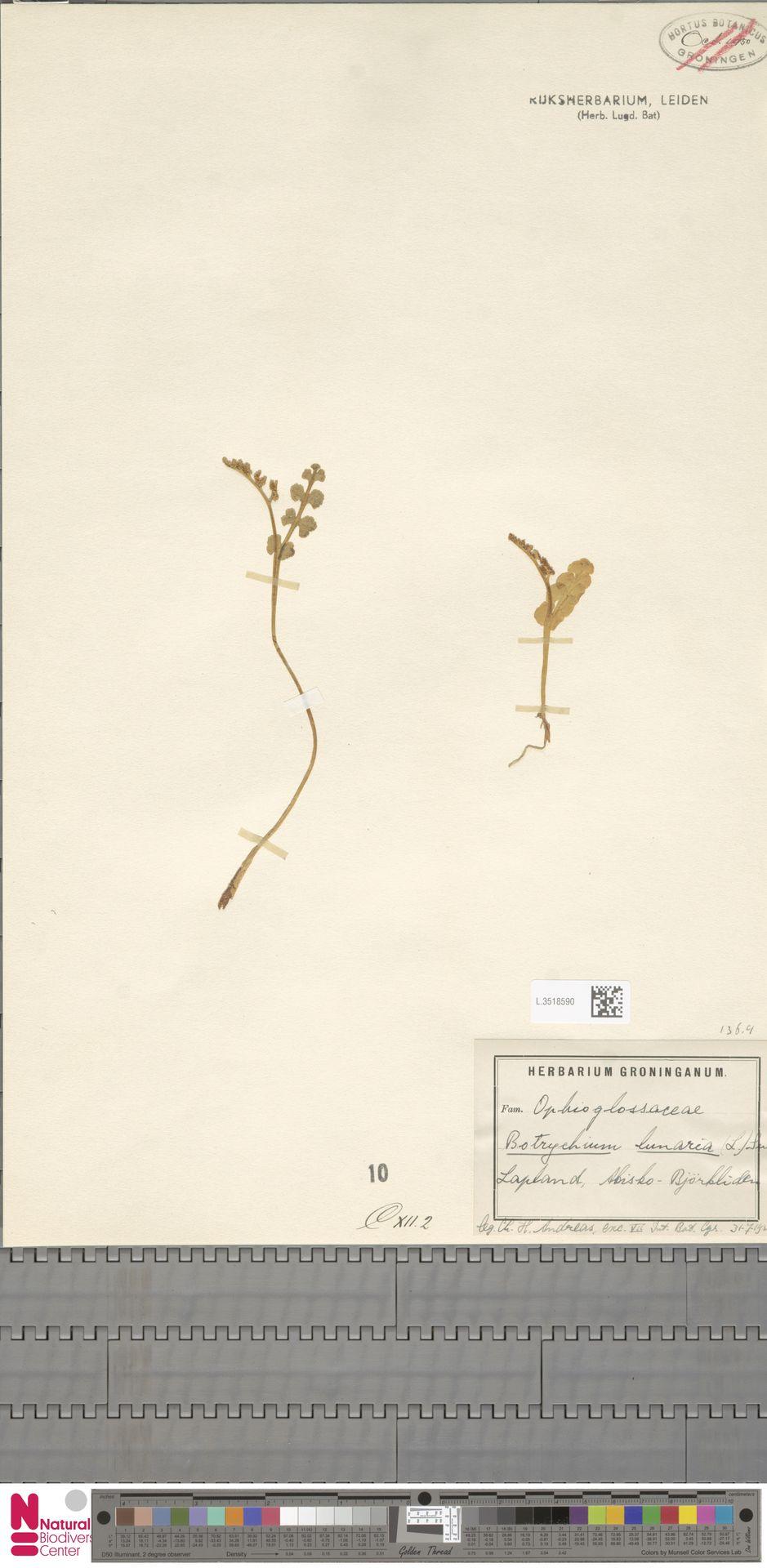 L.3518590 | Botrychium lunaria (L.) Sw.