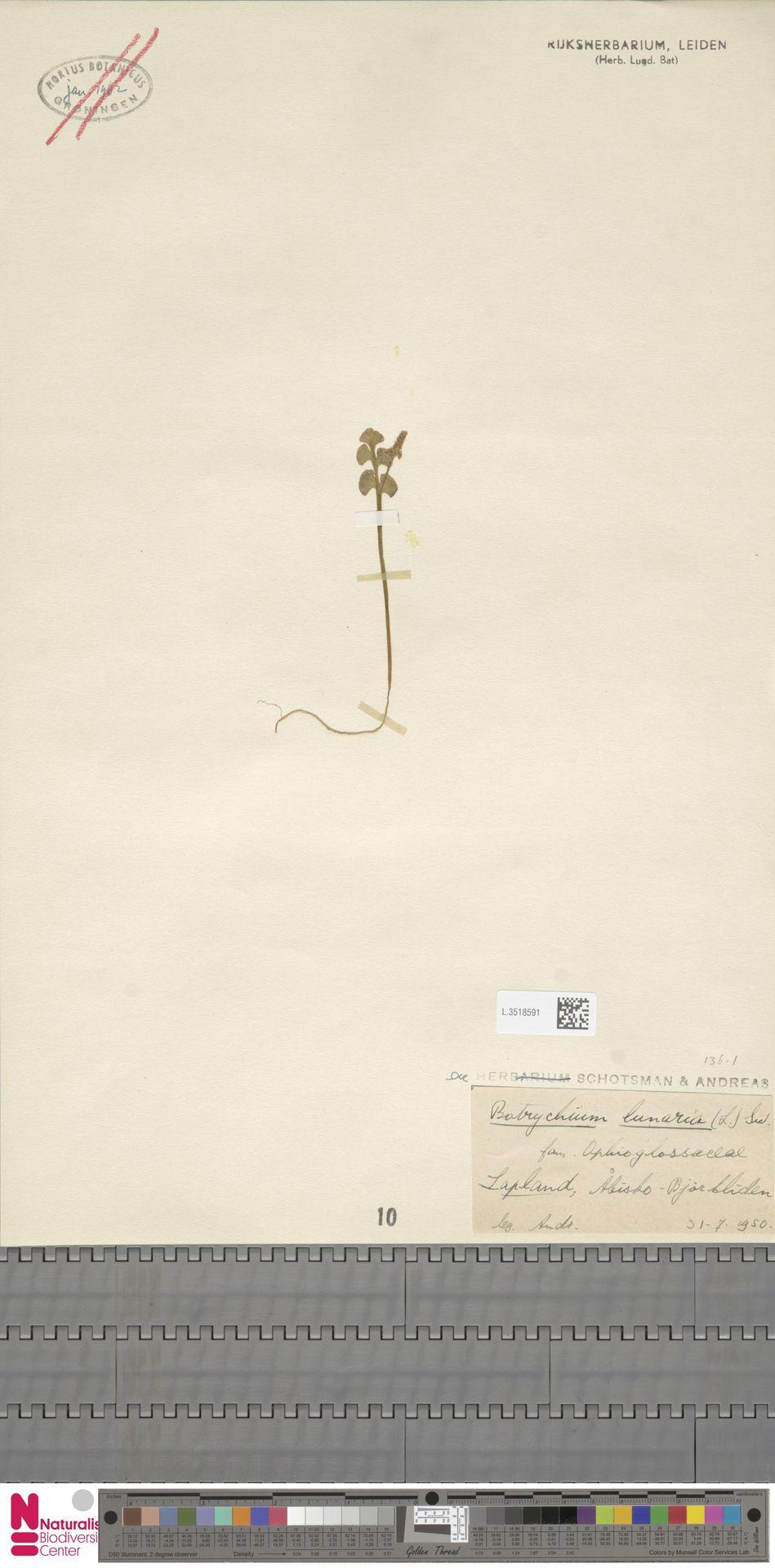 L.3518591 | Botrychium lunaria (L.) Sw.