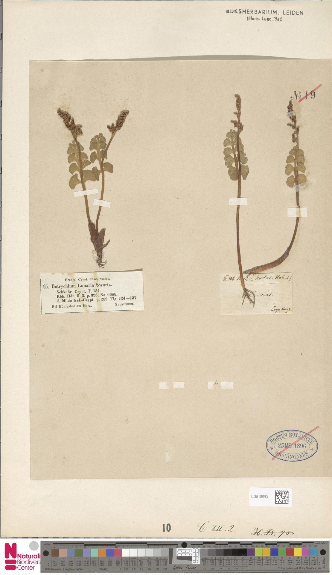 L.3518593   Botrychium lunaria (L.) Sw.