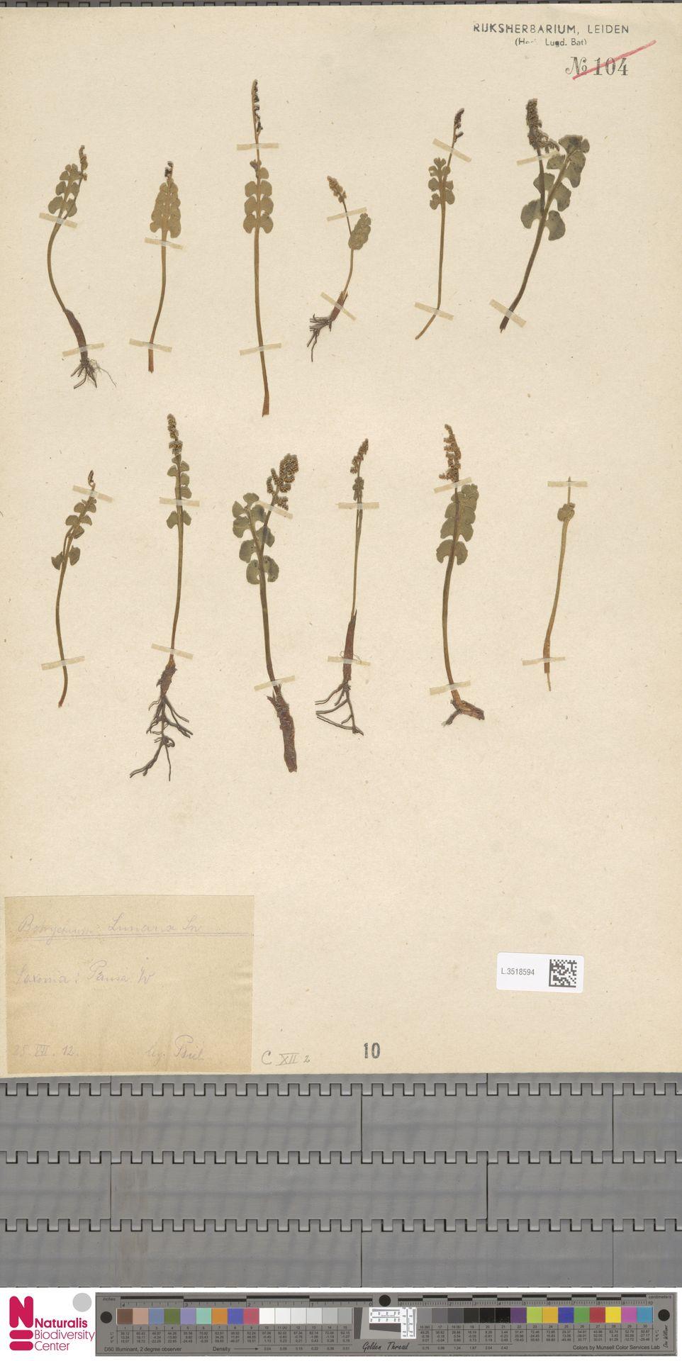 L.3518594 | Botrychium lunaria (L.) Sw.