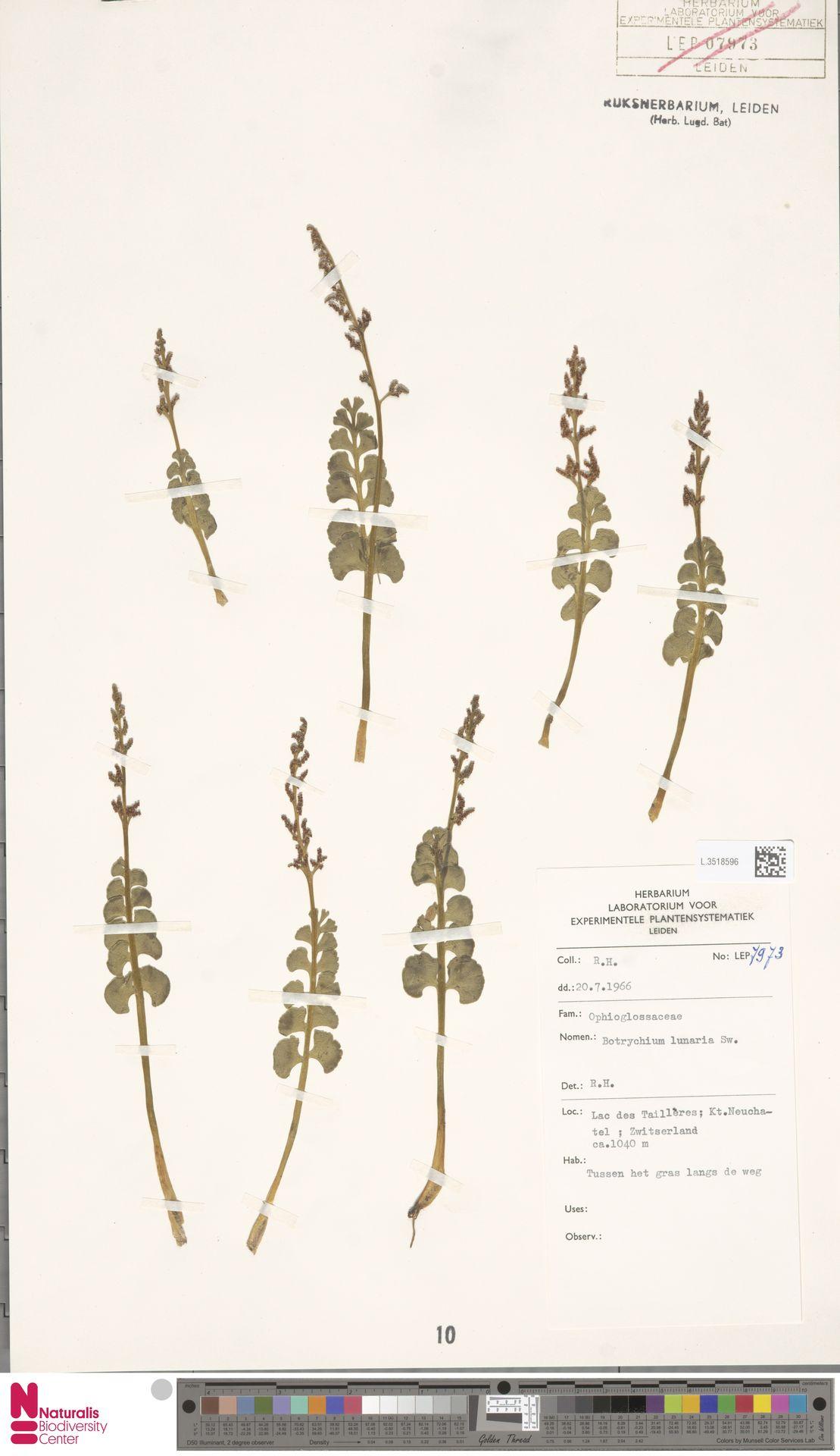 L.3518596 | Botrychium lunaria (L.) Sw.