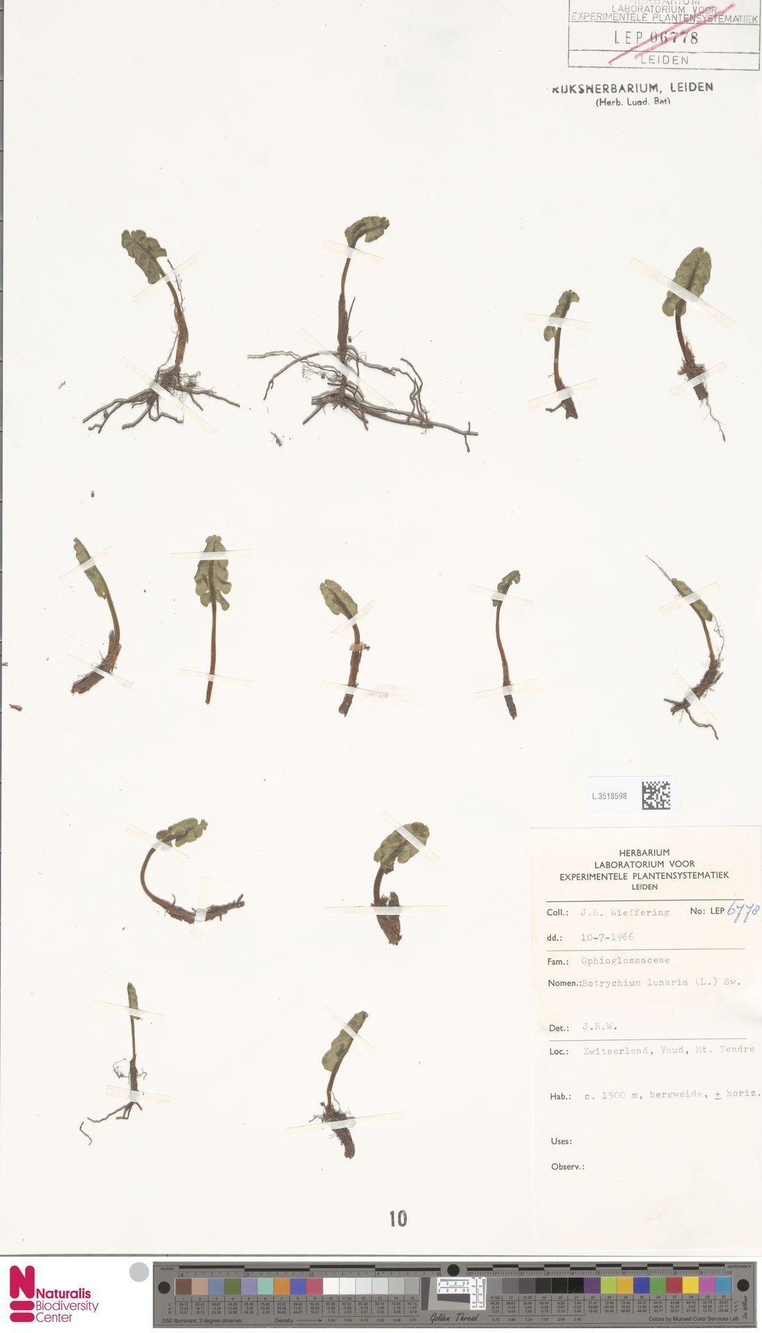 L.3518598 | Botrychium lunaria (L.) Sw.