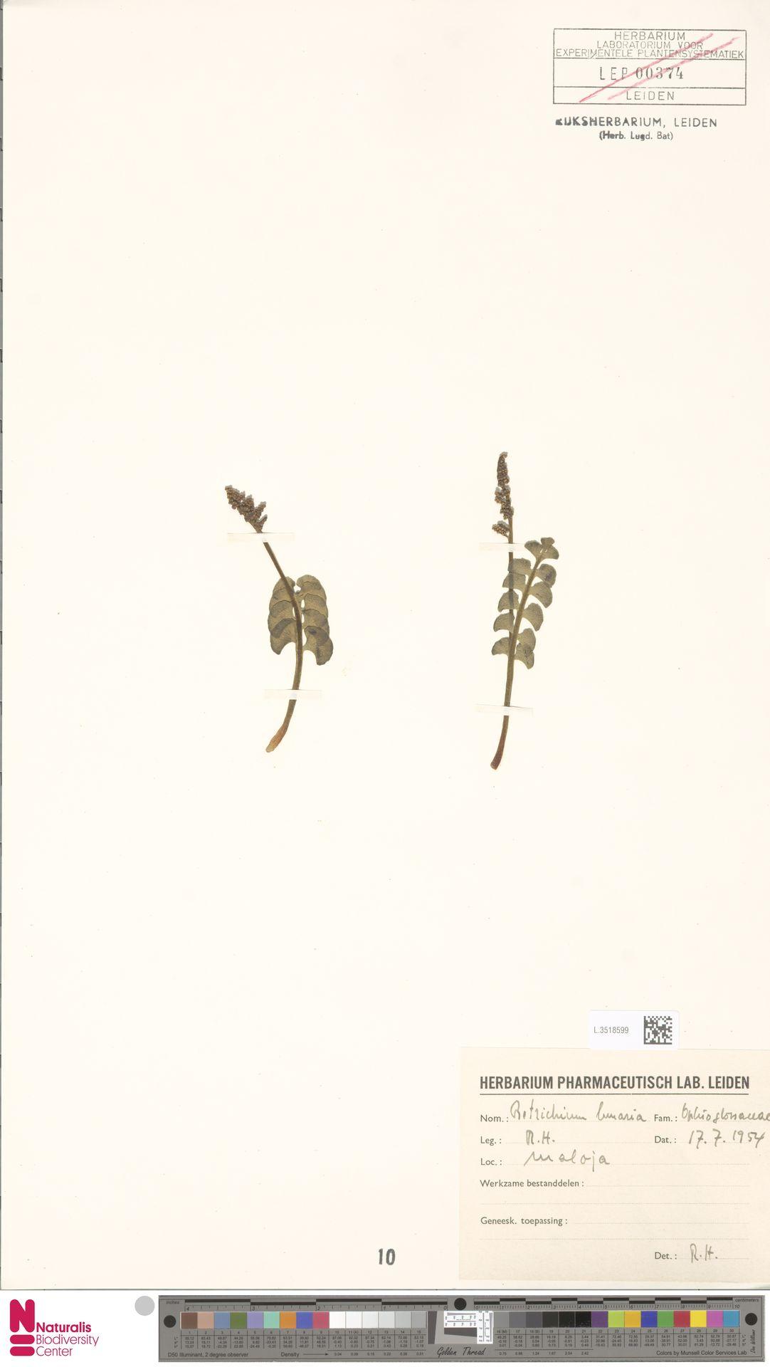 L.3518599 | Botrychium lunaria (L.) Sw.