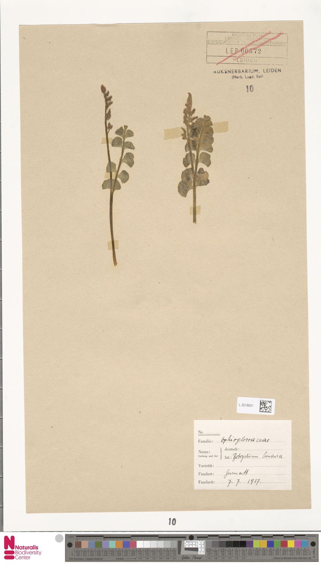 L.3518601 | Botrychium lunaria (L.) Sw.