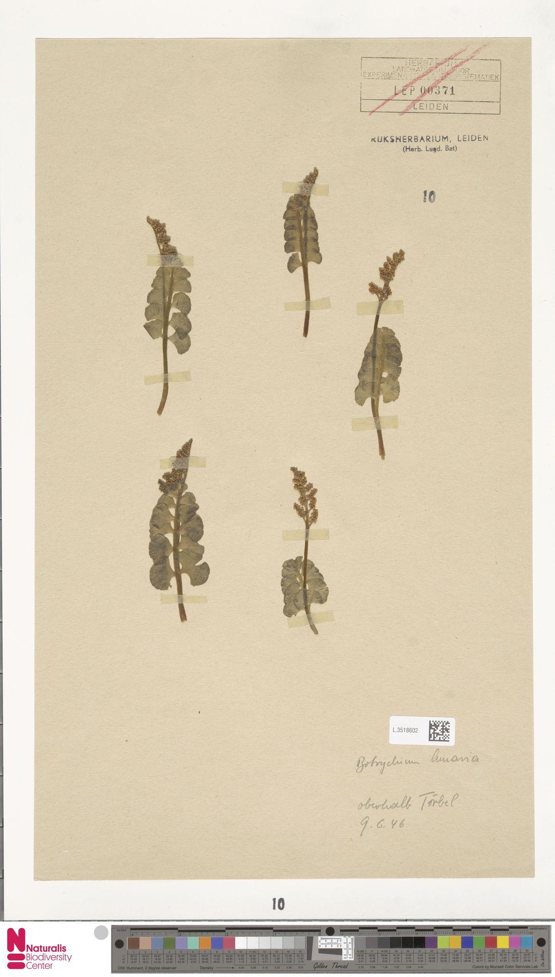 L.3518602 | Botrychium lunaria (L.) Sw.