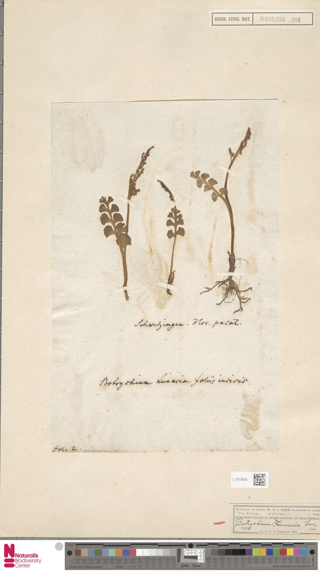 L.3518604 | Botrychium lunaria (L.) Sw.