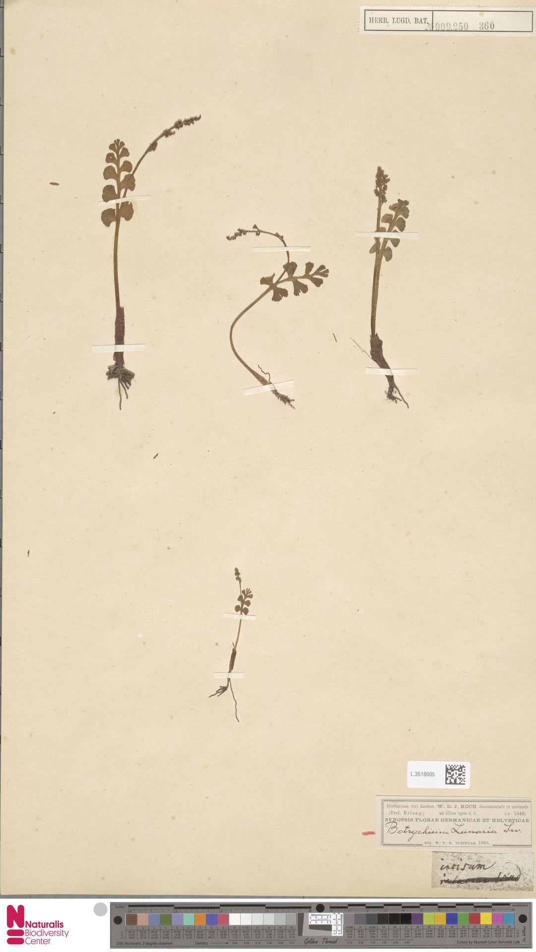L.3518605 | Botrychium lunaria (L.) Sw.