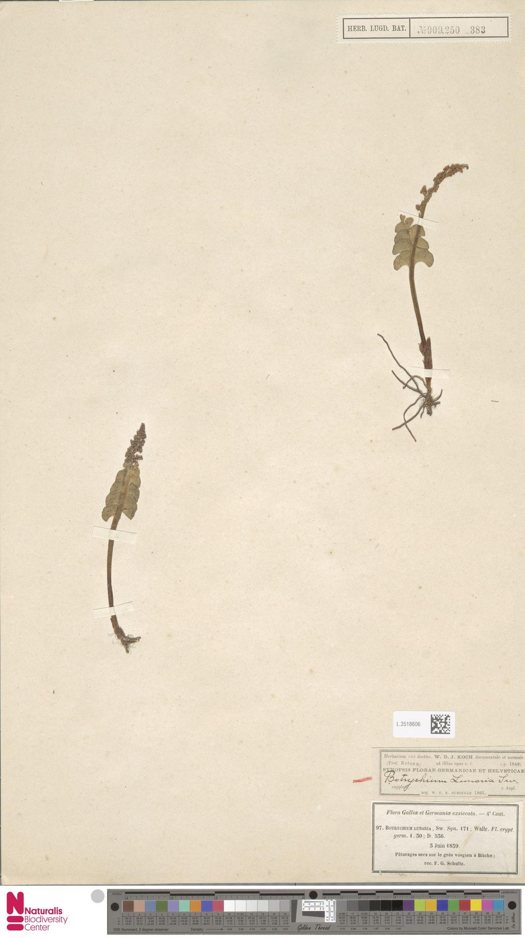 L.3518606 | Botrychium lunaria (L.) Sw.