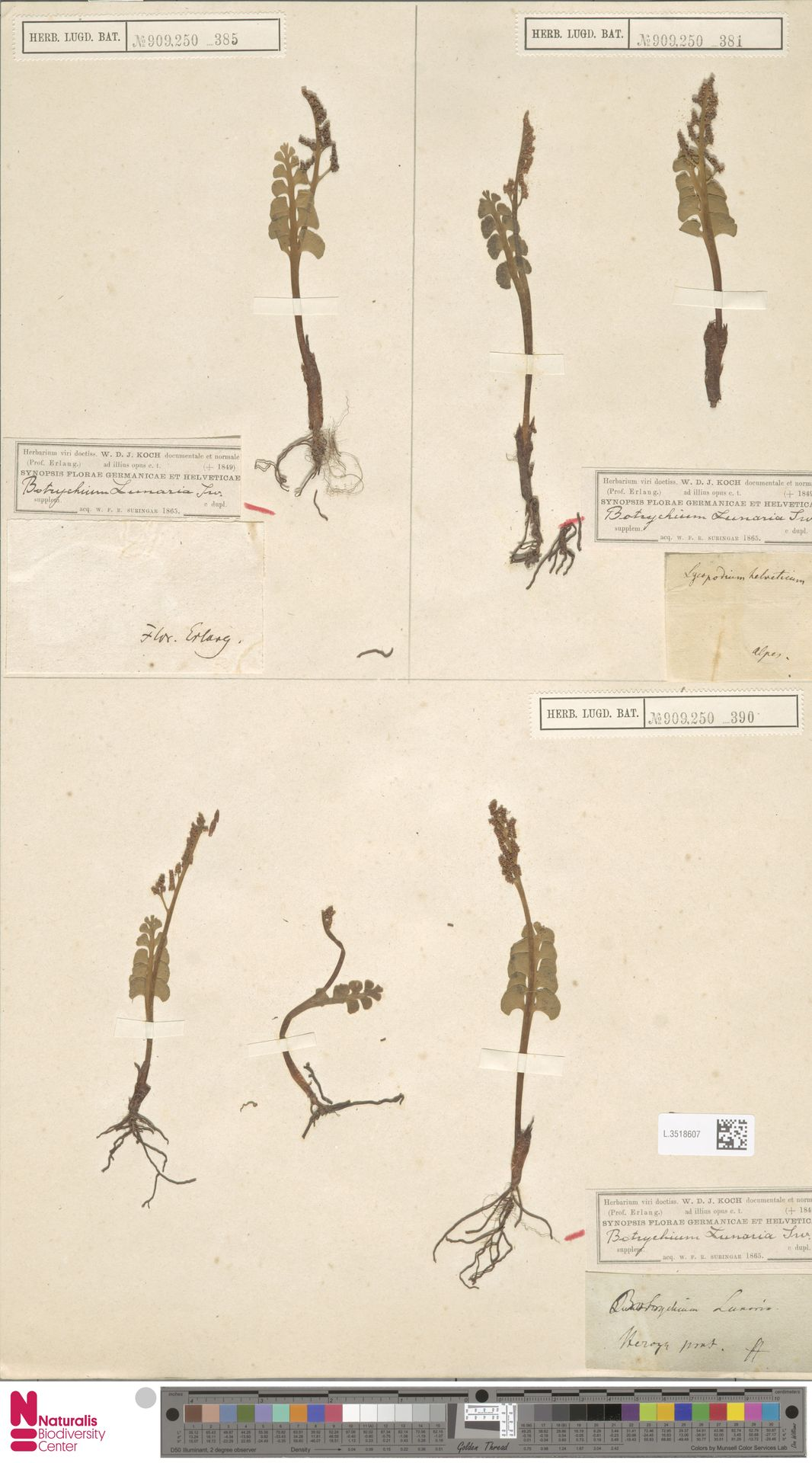 L.3518607 | Botrychium lunaria (L.) Sw.