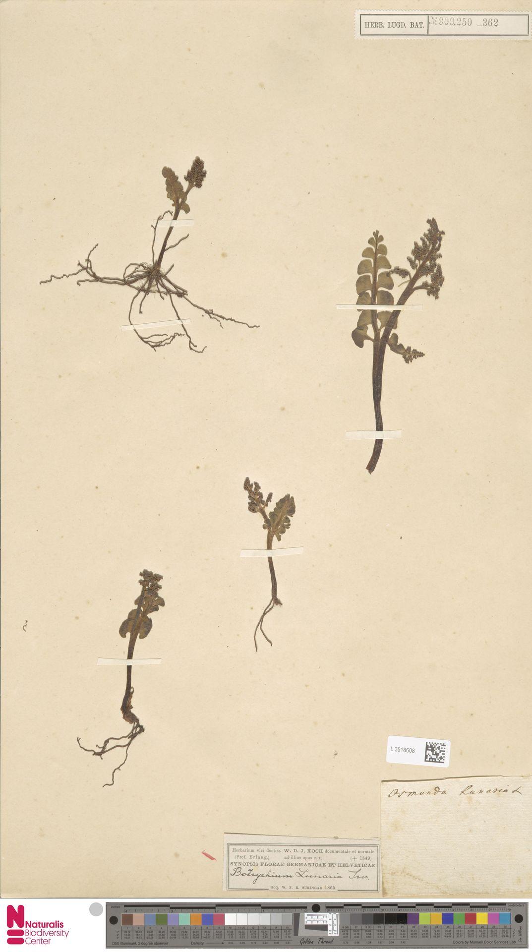 L.3518608 | Botrychium lunaria (L.) Sw.