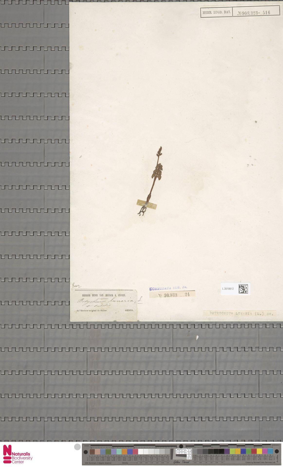 L.3518612 | Botrychium lunaria (L.) Sw.