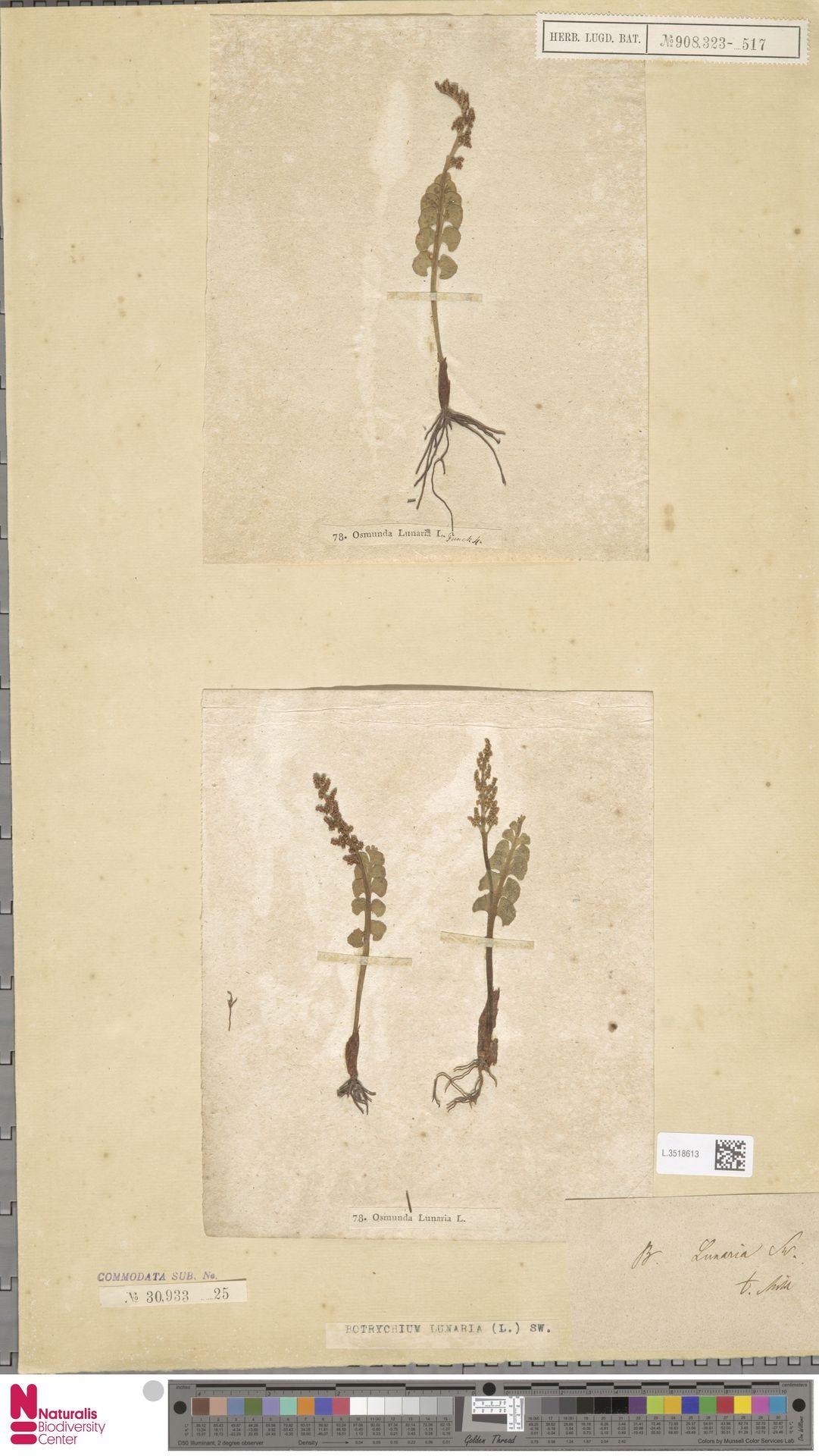 L.3518613 | Botrychium lunaria (L.) Sw.