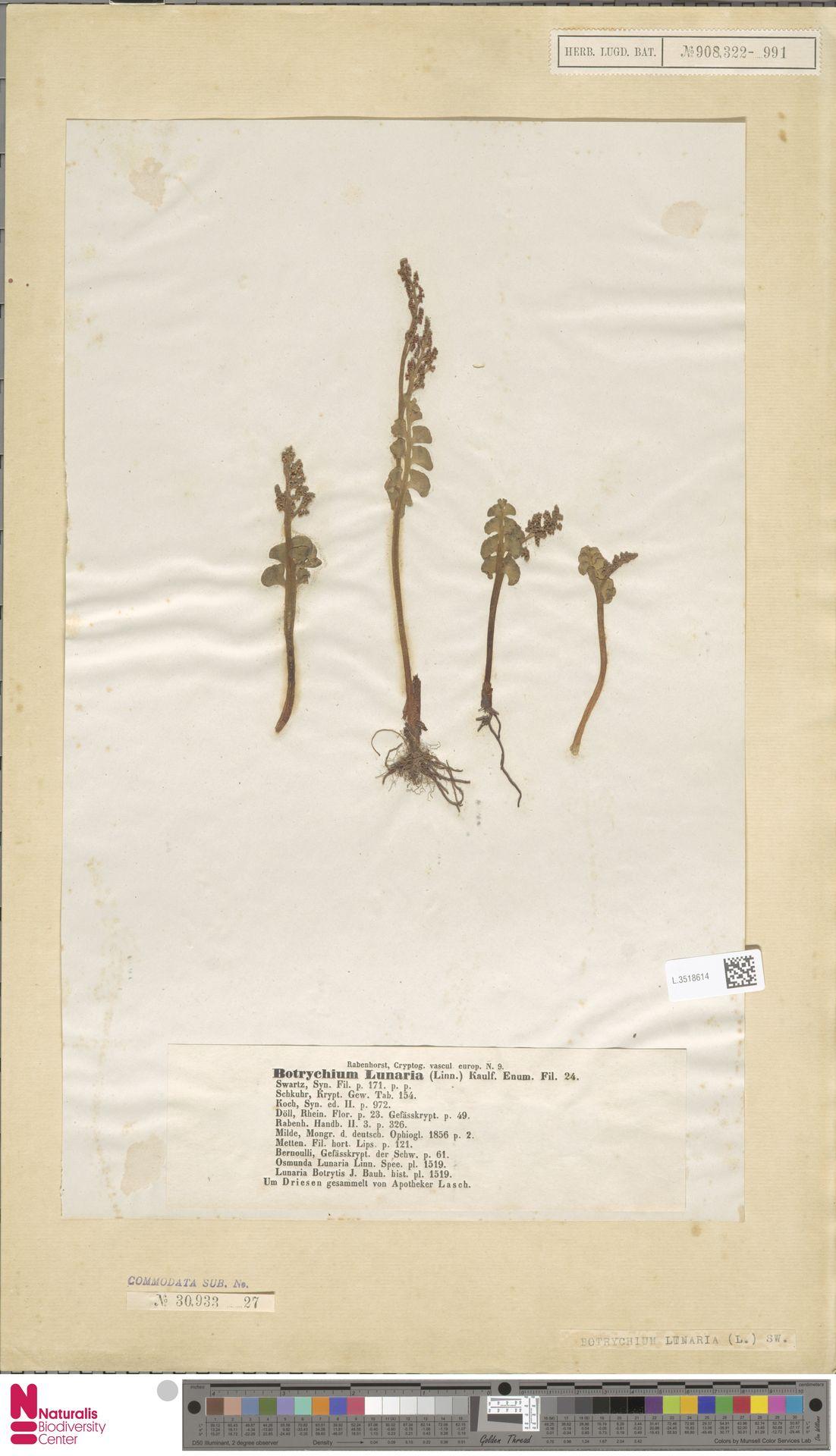 L.3518614 | Botrychium lunaria (L.) Sw.