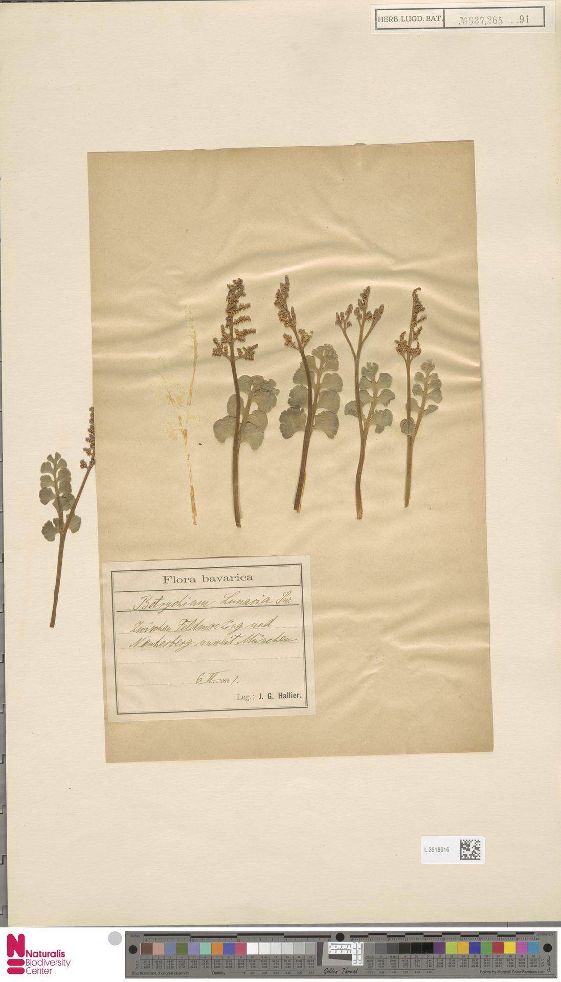 L.3518616 | Botrychium lunaria (L.) Sw.