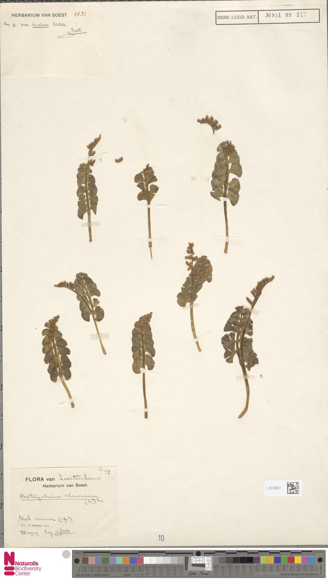 L.3518617 | Botrychium lunaria (L.) Sw.