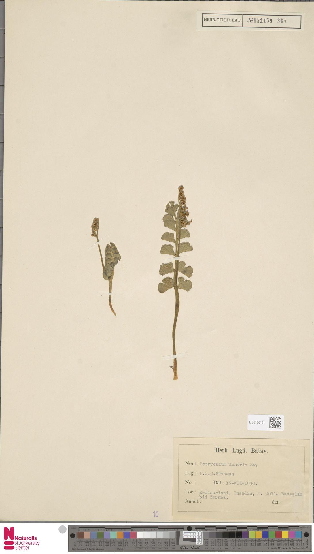 L.3518618 | Botrychium lunaria (L.) Sw.